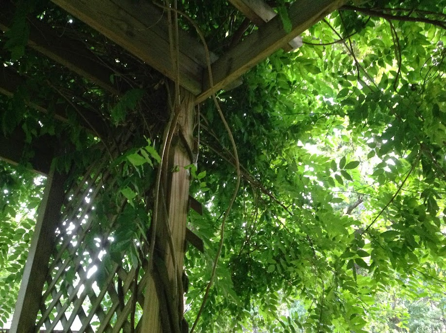 vines of wisteria
