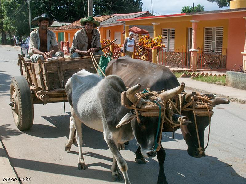 Des paysans qui circulent en char à boeufs à Viñales