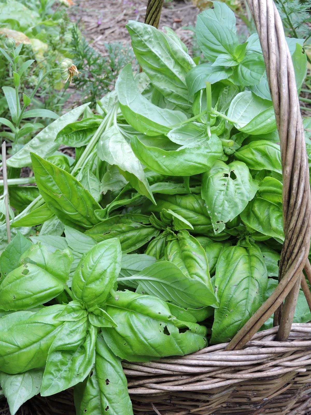 Nommez moi des fines herbes for Basilic culture interieur