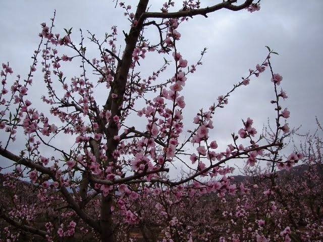 Peach Tree - Bonnievale, South Africa