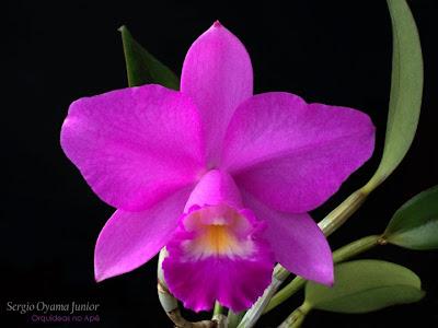 Mini-orquídea Lc. Mini Purple