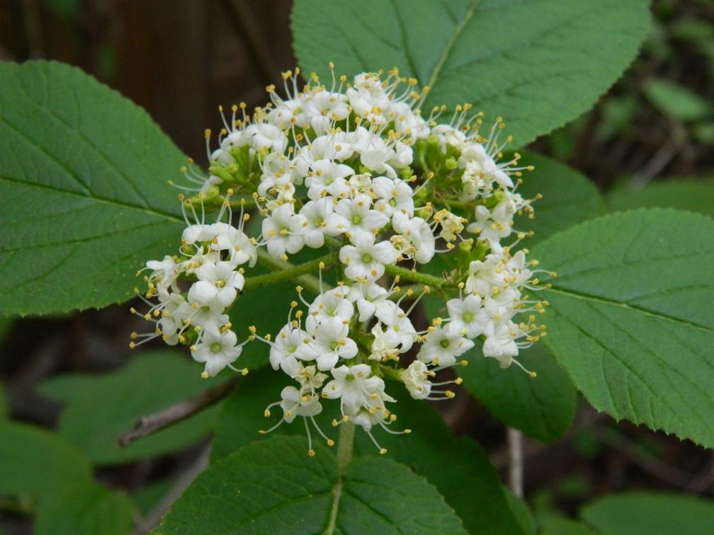 """Mohican"" wayfaringtree viburnum lantana bloom detail by garden muses: a Toronto gardening blog"