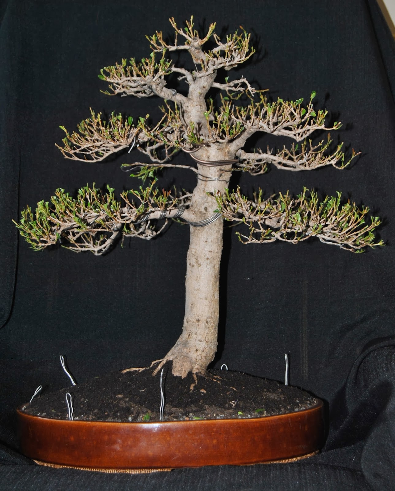 Defining The Natural Form And Natural Branch Styling In Bonsai