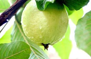 Goiaba (Psidium guajava L.)