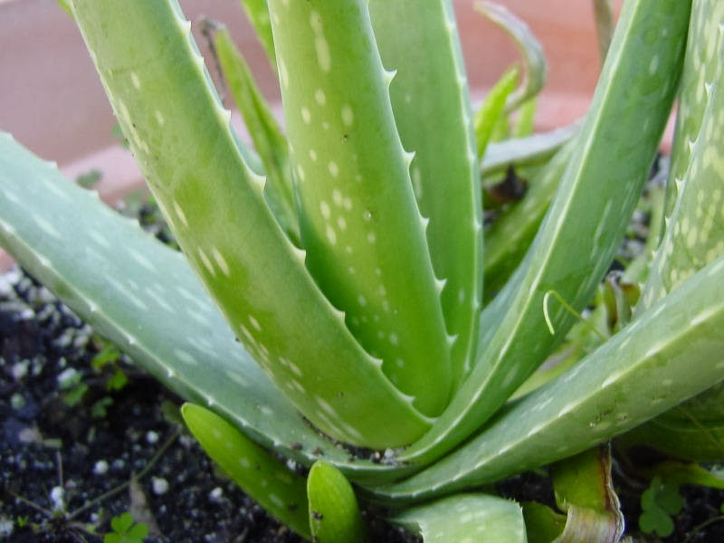 aloe vera further afield aloe vera has widely naturalised in