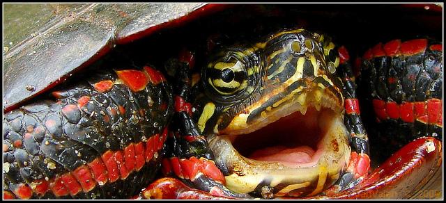 chrysemys-picta-tortue-peinte