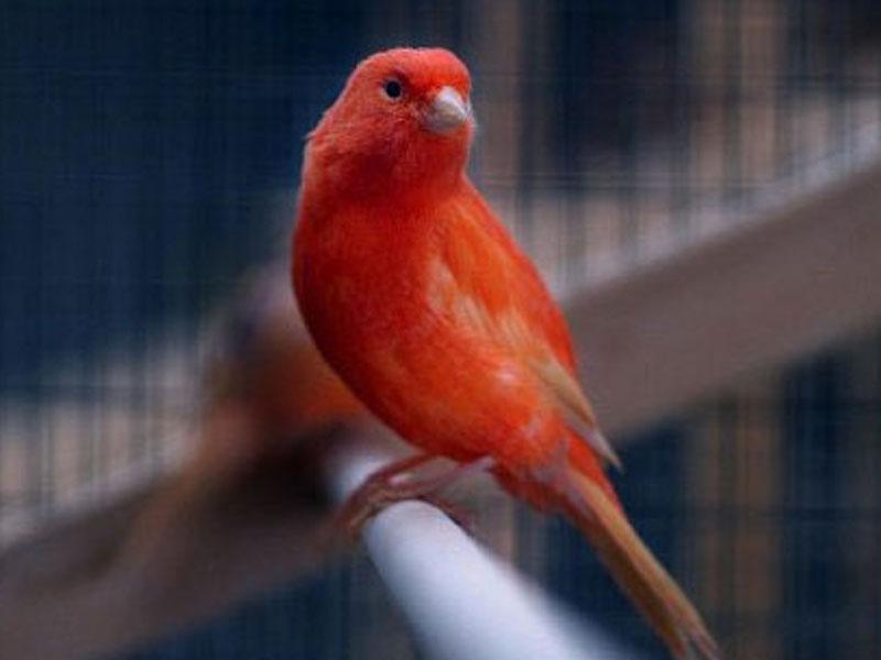 gambar-burung-Kenari-CinnamonJenis Burung Kenari