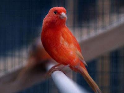 Gambar Burung Kenari Cinnamon