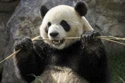 Pandas gigantes não estão adaptados para comer bambu, diz estudo