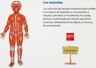 http://www.primaria.librosvivos.net/archivosCMS/3/3/16/usuarios/103294/9/6EP_Cono_cas_ud3_Musculos/los_musculos.swf
