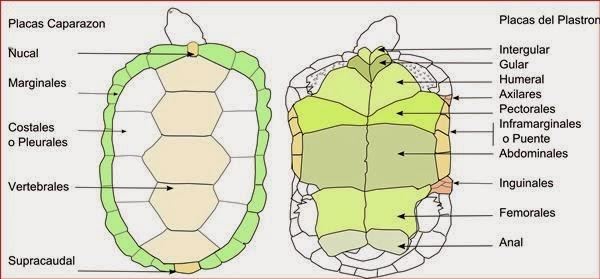 Info animales: TORTUGAS, SU PIEL Y CAPARAZÓN