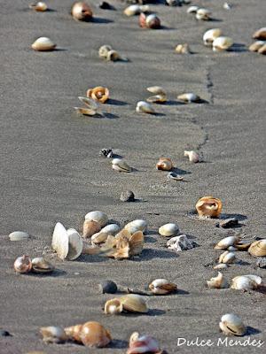 Conchas voltaram a praia do cassino