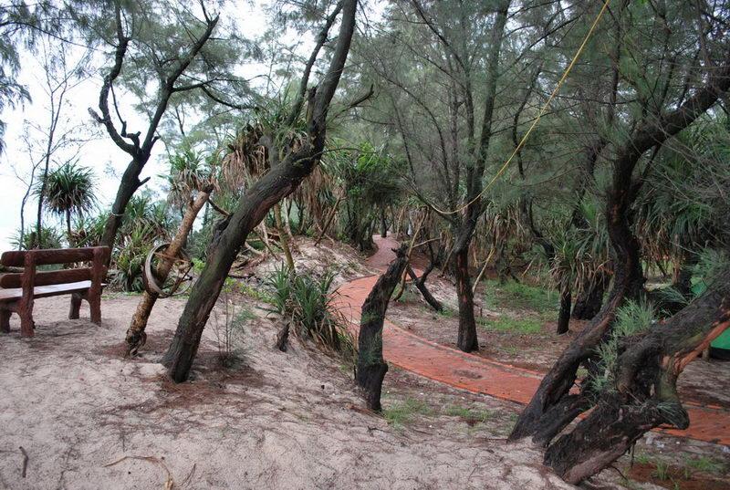 Rừng Trâm ven bãi tắm Sơn Hào được trồng để chống gió biển