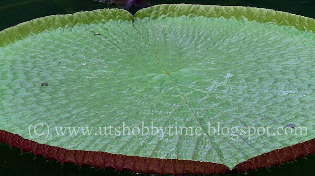 water lily leaf photos