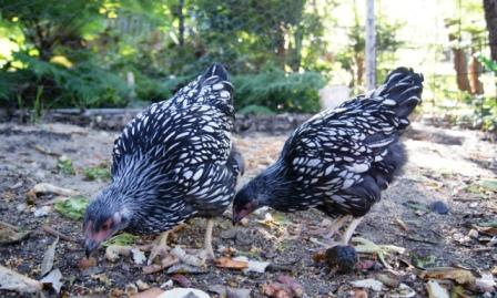 image of two pullets grazing on cracked corn