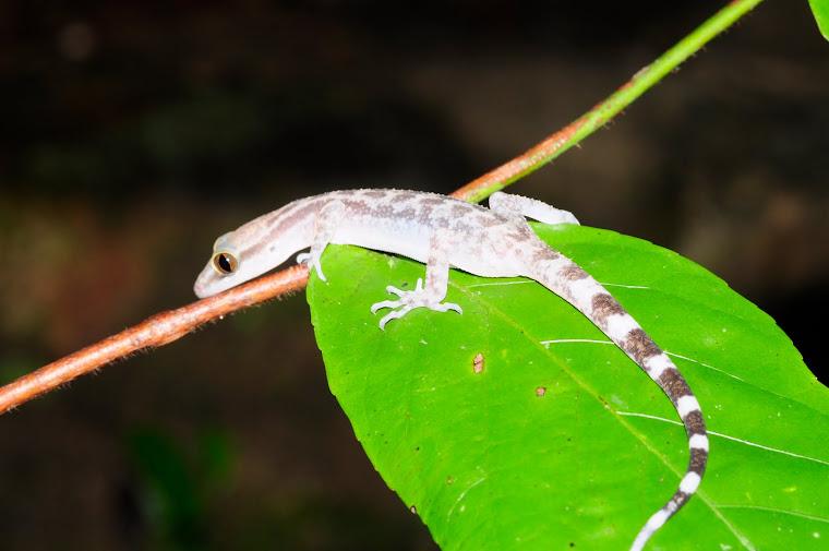 Cyrtodactylus  quadrivirgatus Taylor,1962