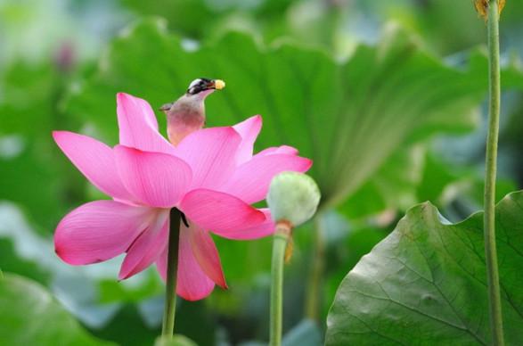Công dụng của hoa sen trong chăm sóc da