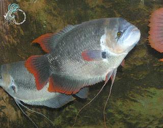 cá tai tượng vây đỏ