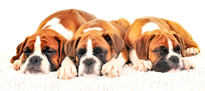 three boxer dogs asleep in a row