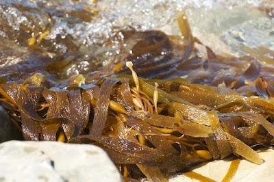 Kelp (Macrocystis sp)