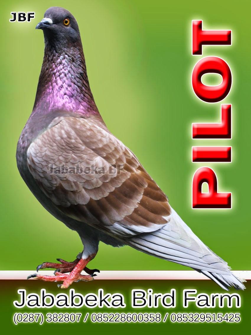 Cara Menambah Nafsu Makan Burung Merpati Balap Jamu Superkuat Perawatan 24 Jam Player Jika Info Ini Berguna Silahkan Di Gunakan Dengan Baik