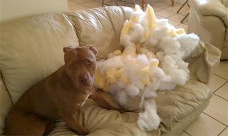 Cão devora sofá