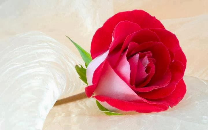 Lovely Single Rose Flower Image