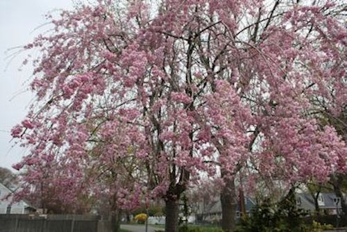 A guide to northeastern gardening spring flowering trees pretty in prunus subhirtella pendula weeping cherry height 15 25 cold hardy to zone 4 full sun mightylinksfo