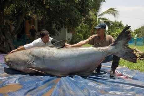 10 Gambar Ikan Terbesar di Dunia | Budidaya Ikan | Ikan ...