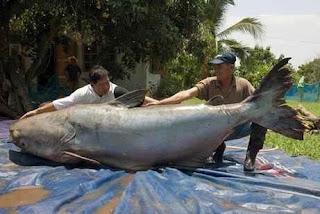Ikan Lele terbesar di dunia (tertangkap di Thailand)