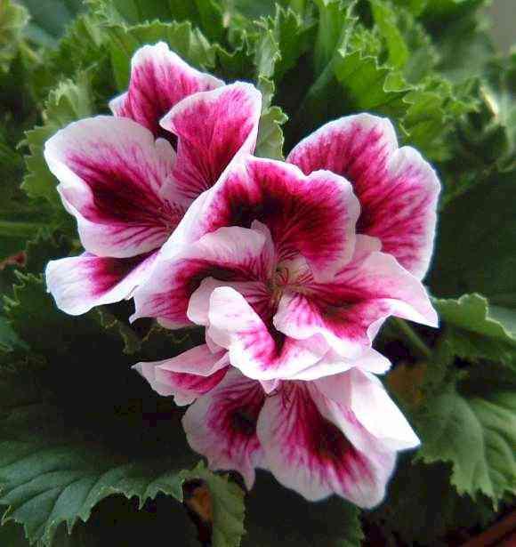 Im genes de flores y plantas geranio - Geranio de pensamiento ...