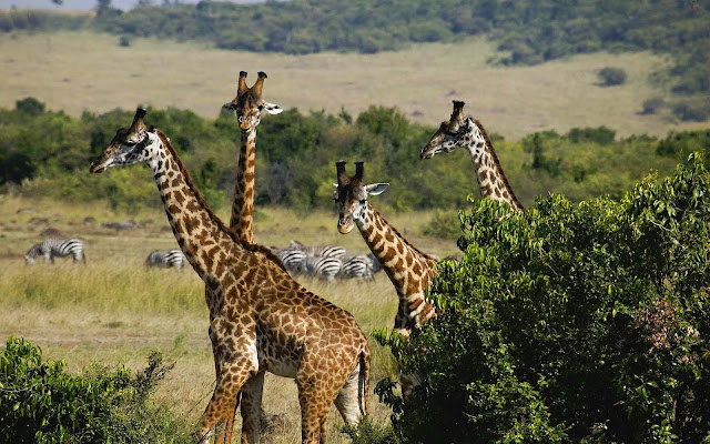 Wallpaper with a picture of a group of giraffes and bushes