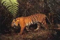 Sumatran Tiger (Phantera Tigris Sumatrensis