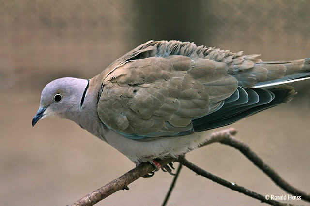 Vögel Vogelfotos Tauben Lachtaube