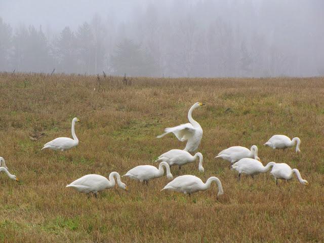 http://blogger-seijastiina.blogspot.fi/2010/10/joutsenia-ja-laavuilua.html