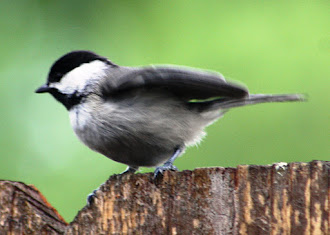 Photograph of black-capped chickadee playing in my backyard.