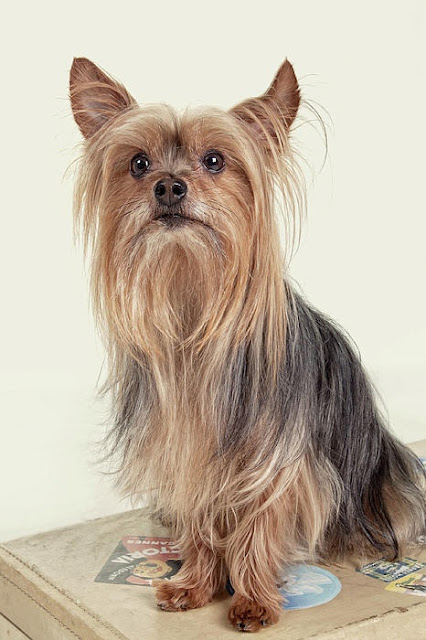Size and Weight of Yorkshire Terrier