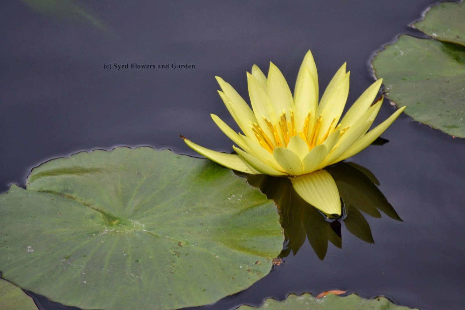 How To Grow Water Lilies Or Aquatic Plants Nymphaeaceae Flower