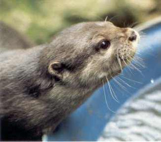 Beenie the tame otter belonging to Sophie Neville