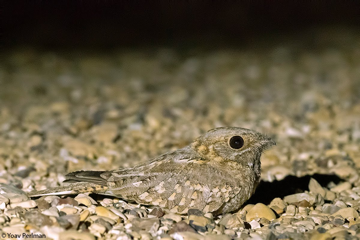 Nubian Nightjar, Neot Hakikar, May 2012