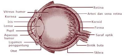 Macam-macam Alat dan Sistem Panca Indra pada Manusia (Indra Pengecap, Peraba, Penglihatan, Pembau dan Pendengar)