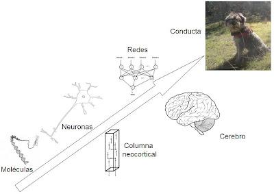 Niveles de organización cerebral