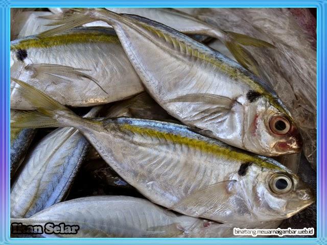 gambar ikan selar