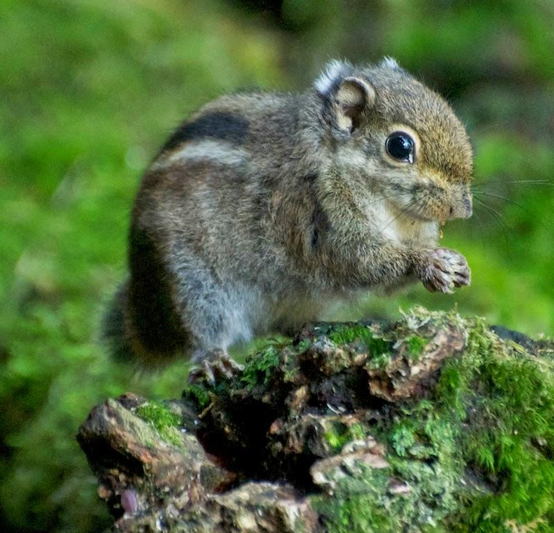 Maritime Striped Squirrel (Tamiops maritimus maritimus)