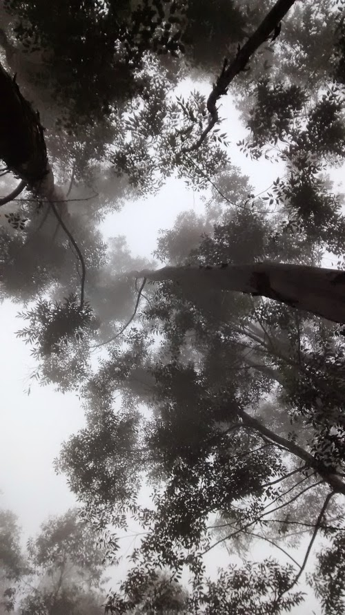 tall trees in munnar bathing in mist