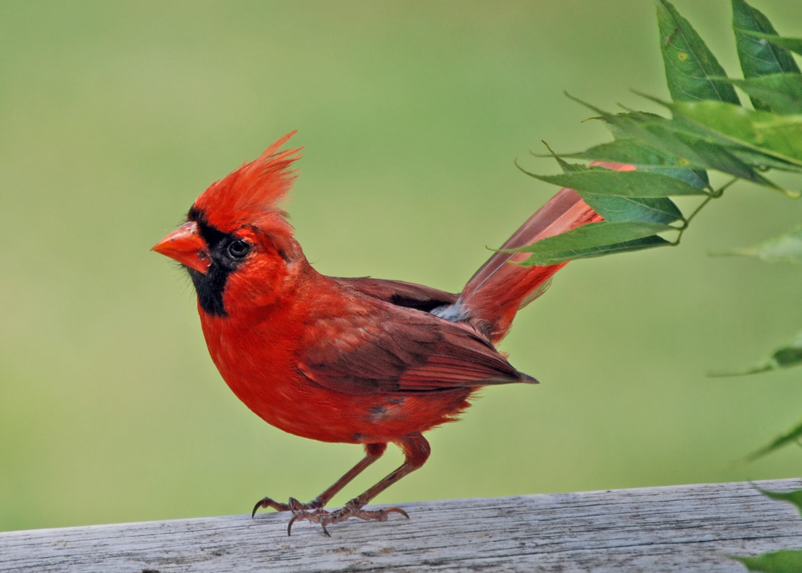 Cute cardinal wild birds wild animal and birds Pictures of birds