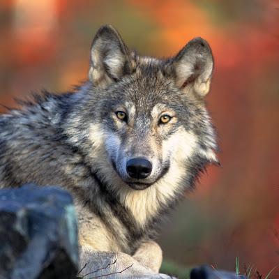 Gambar-Gambar Binatang Serigala