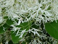 小さな真っ白い花を開き、そよ吹く風になびかせて可憐に咲いている