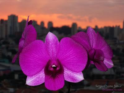 Orquídea Dendrobium phalaenopsis