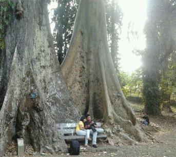 Mitos Jodoh Diatas Jembatan Dan Dibawah Pohon Kebun Raya Bogor